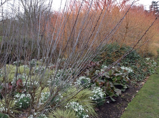 Snow drops in the winter garden